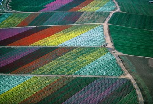 Cut_flower_fields
